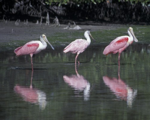 A trio of Roseate Spoonbills in the Everglades.