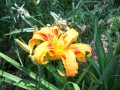 Old-fashioned Double-ruffled TIger Lilies