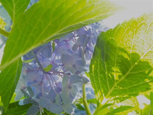Crawling Around Under the Hydrangea Bush with My Camera  :)