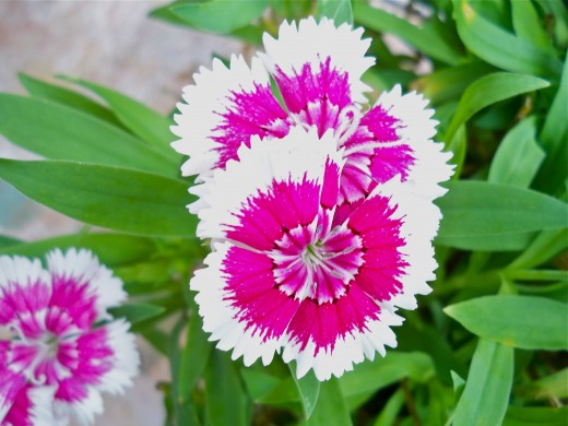 Up Close with Tiny Dianthus (or Pinks)