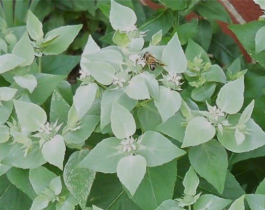Mosquito Plant Blooms Attract Wasps (Must be what makes them so mean!)
