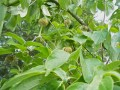 Clematis Mops (Seed Heads) in a Dogwood Tree
