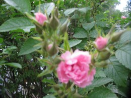 A close up of my little pink roses blooming from the end of June till almost November here in the Northeast.