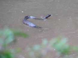 Cottonmouth in the Creek