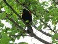 Red Winged Black Bird-On the Attack