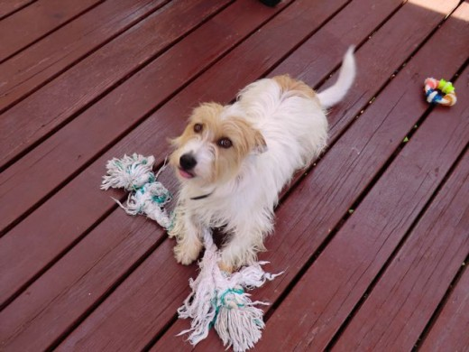 My dog holding the Fresh 'N Floss 2 Knot Rope Bone.