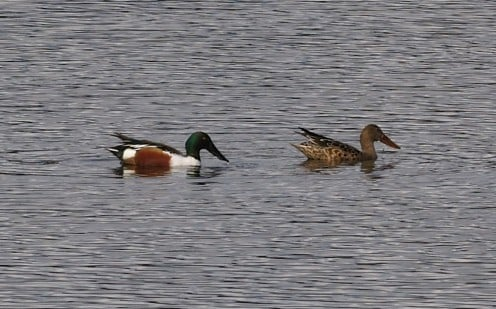 A pair of Northern Shovelers float in the Nisqually river