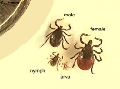 Lyme disease a deer tick bite always have ring