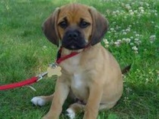 Walk your Puggle at least 40 minutes each day.