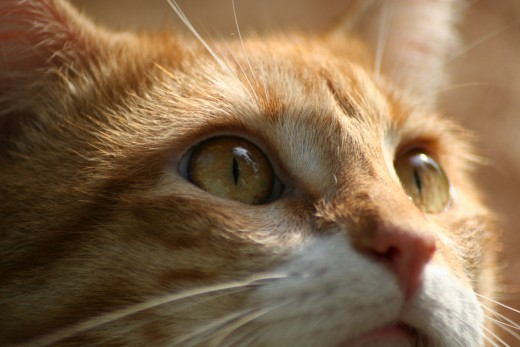 Yellow Guy...rescued and RIP baby boy....died too young through complications due to Feline Leukemia