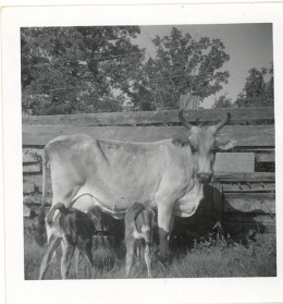 A part brahman cow with part hereford twin calves.
