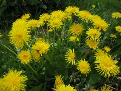 Dandelion - The Miracle Herb