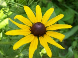 Rudbeckia is a wildflower from the Midwest. It is easily grown in gardens.