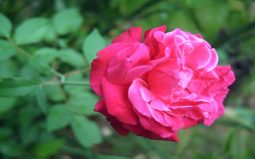 An American Rose at home (Photo by Travel Man)