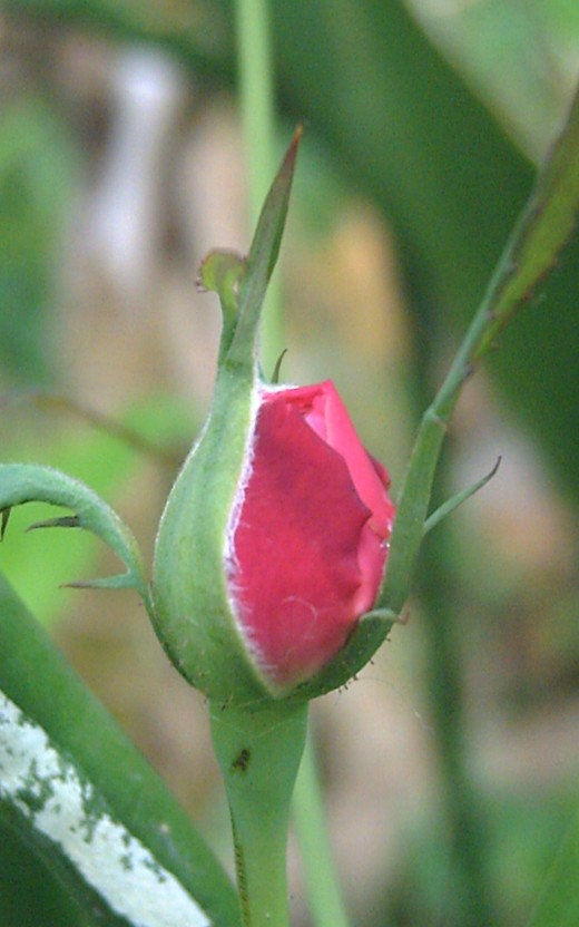 A Rose Bud (Photo by Travel Man)