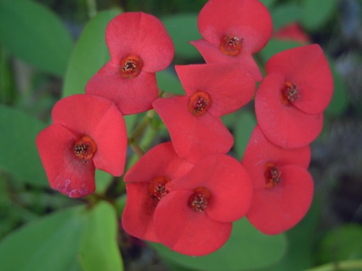 Red Euphorbia flowers (Photo by Travel Man)