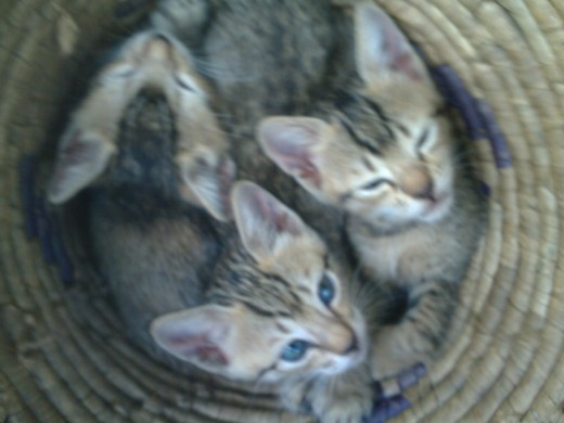 Three Kittens are better than two. Three heads, really!