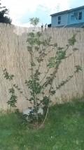 Azelia type bush
