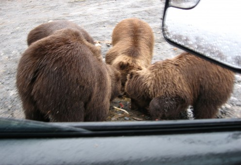A Real Grizzly Mother with Three Cubs