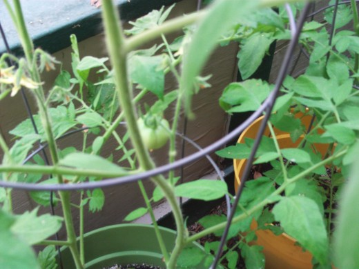 Picture of tomatoes growing on a container plant.