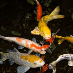 Nishikigoi : An Overview Of Koi Fish