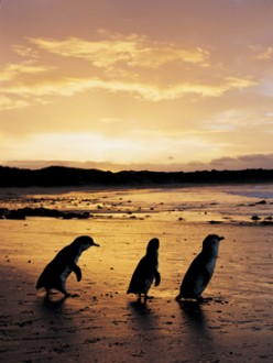 Phillip Island Penguins on Parade