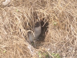A penguin chick in its burrow
