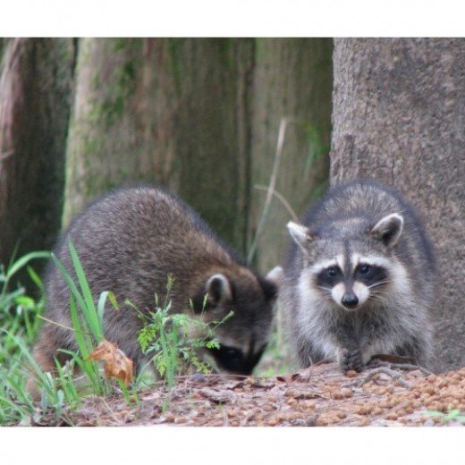 A Pair of Raccoons in south Louisiana.