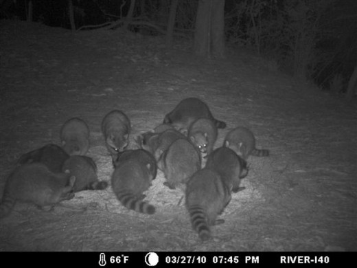 It is not uncommon for a dozen or more raccoons to eat together.
