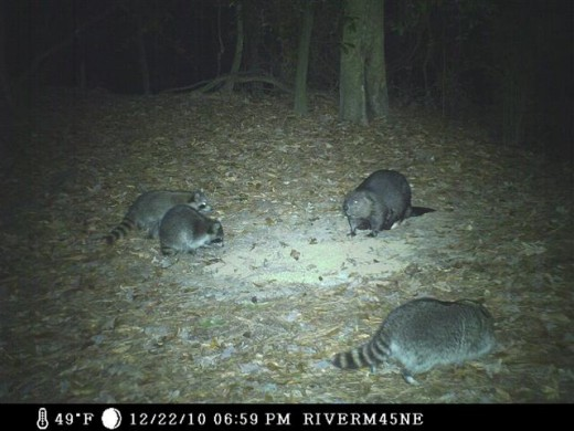 The beavers and raccoons eat alongside each other. This female raccoon is edgy because of the kits.