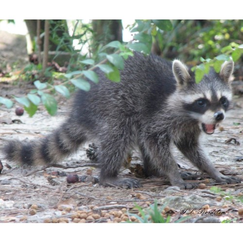 This unusual baby raccoon is eating wild plums and dog food.