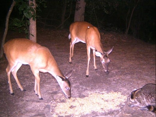 Deer and raccoons visit the feeding spot where the camera is set up.