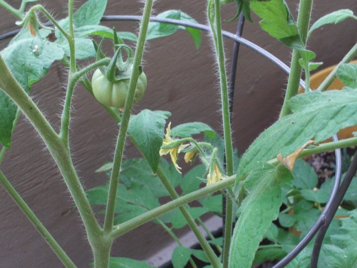 The early girl tomato is getting larger by the day.