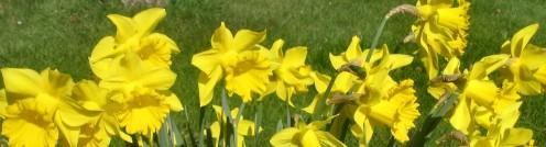 Daffodils - Copyright Tricia Mason
