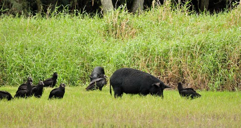 Black vultures and wild pigs in the park.