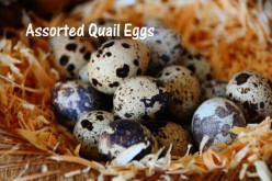 Jumbo Quail Eggs, for eating or hatching.  Quails are also great for eating.