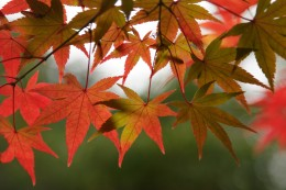 By Masahiro Hayata (originally posted to Flickr as Maple Leaves) [CC-BY-SA-2.0 (www.creativecommons.org/licenses/by-sa/2.0)], via Wikimedia Commons