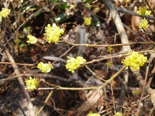 The flowers of the Sassafras tree.