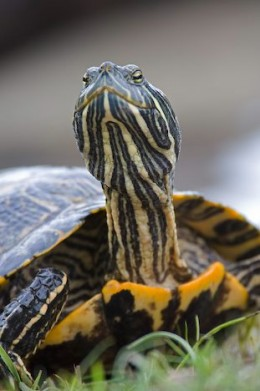 Red Eared Slider turtles are adorable, and Franky is calm and not in the least aggressive.