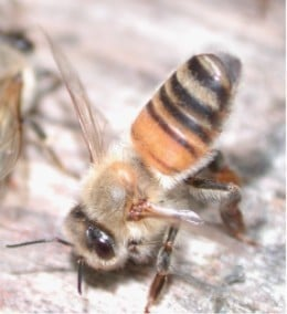 A honeybee communicates with the swarm by releasing pheromones from its abdominal Nasonov gland.