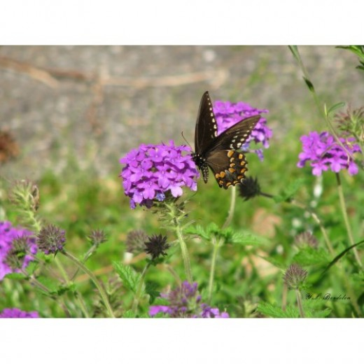 Purple Verbena attracts many butterflies.