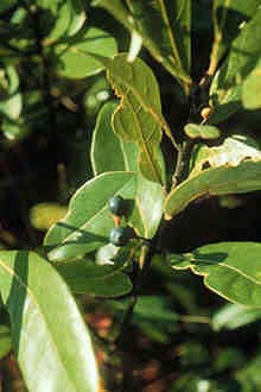Red Bay, Persea borbonia, is a larval food plant for both the Spicebush and Tiger Swallowtail butterflies.