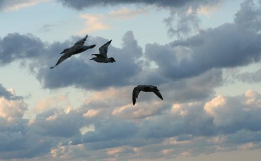 Birds In Fight Over Lake Erie