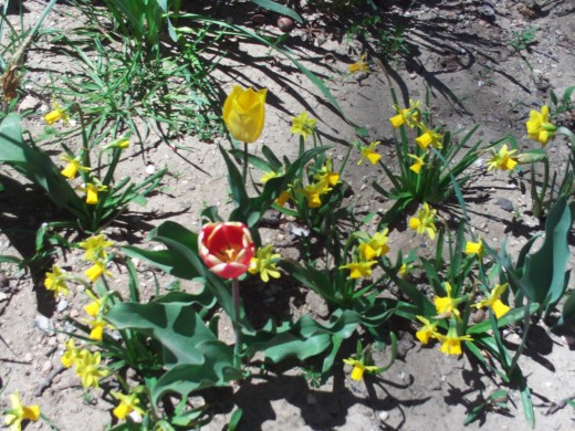 Large tulips next to petite daffodils.