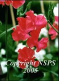 This is a Sweet Pea and it is most definitely (c) Sweat Pea Society.