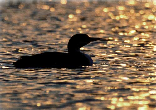 A Loon on Loon Lake at Sunset