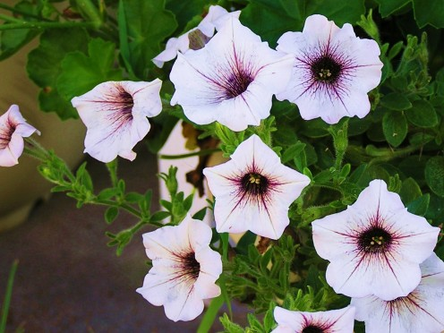 Cheerful Petunia spilling over the edge.