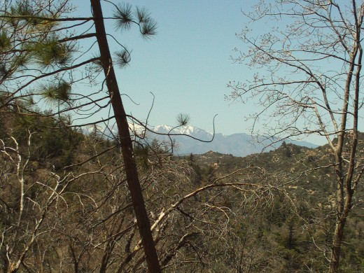 A pine tree in front of Mount Baldy in the distance.