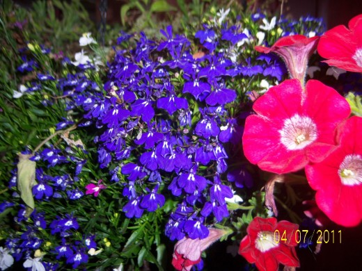 Hanging basket number one with trailing blue lobelia and trailing red surfina