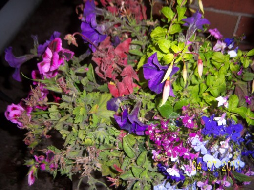 Hanging basket number two abretia, lobelia, creeping jenny